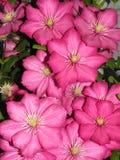 Różowy Clematis Zdjęcia Royalty Free