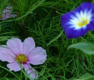 Różowy cosme kwiat w trawie z zamazanym wiatrem jako tło zdjęcia stock