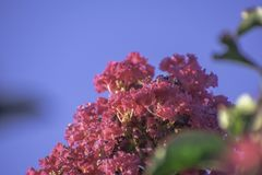 Różowy Crape mirt z niebem zdjęcie stock