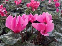 różowy cyklamen obraz stock