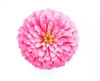 Różowy cynia kwiat na białym tle Obrazy Stock