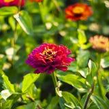 Różowy cynia kwiat na zielonej trawy tle obraz stock