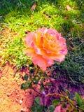 Różowy cynia kwiat z koloru żółtego centrum zdjęcie stock
