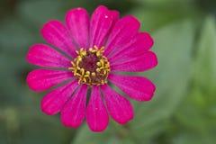 Różowy cynia kwiatu kwitnienie obraz royalty free