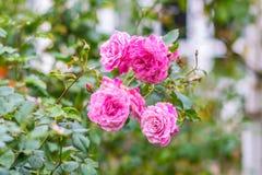 Różowy czarodziejki róży kwiat w jesieni Zdjęcia Royalty Free