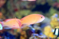Różowy czarodziejski basslett Fotografia Stock