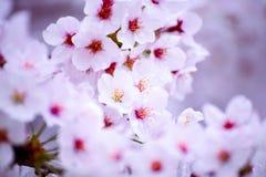 Różowy czereśniowego okwitnięcia kwiat Obrazy Stock