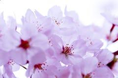 Różowy czereśniowego okwitnięcia kwiat Fotografia Royalty Free