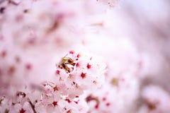 Różowy czereśniowego okwitnięcia kwiat Zdjęcia Royalty Free