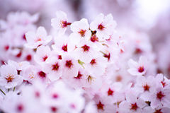 Różowy czereśniowego okwitnięcia kwiat Zdjęcie Stock