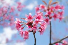 Różowy czereśniowego okwitnięcia kwiat Sakura nad niebieskim niebem Zdjęcie Royalty Free