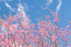 Różowy czereśniowego okwitnięcia kwiat Sakura nad niebieskim niebem Zdjęcia Stock