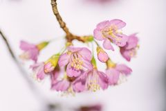 Różowy Czereśniowego okwitnięcia kwiat w Tajlandia Obraz Royalty Free