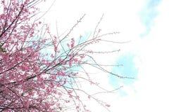 Różowy Czereśniowego okwitnięcia kwiat w zimie, Tajlandzki Sakura przy Chaing Mai Fotografia Stock