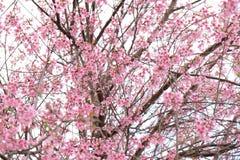 Różowy Czereśniowego okwitnięcia kwiat w zimie, Tajlandzki Sakura przy Chaing Mai Obraz Royalty Free
