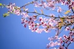 Różowy Czereśniowy okwitnięcie Fotografia Royalty Free