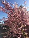 Różowy czereśniowy okwitnięcie zdjęcia stock