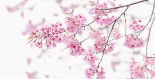 Różowy czereśniowy okwitnięcie, Sakura kwiaty Obrazy Stock