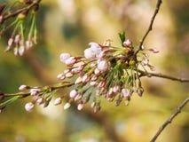 Różowy Czereśniowy okwitnięcie, Sakura/- pączki Obrazy Stock