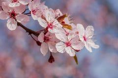 Różowy czereśniowy okwitnięcie w ładnej pogodnej pogodzie Fotografia Stock