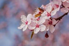 Różowy czereśniowy okwitnięcie w ładnej pogodnej pogodzie Zdjęcie Royalty Free