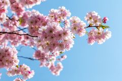 Różowy czereśniowy okwitnięcie w ładnej pogodnej pogodzie Fotografia Royalty Free