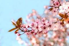 Różowy czereśniowy okwitnięcie w ładnej pogodnej pogodzie Obraz Royalty Free
