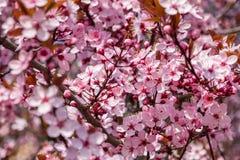 Różowy czereśniowy okwitnięcie w ładnej pogodnej pogodzie Obrazy Royalty Free