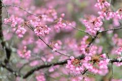 Różowy Czereśniowy okwitnięcie w Tajlandia zdjęcia stock