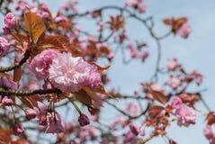 Różowy Czereśniowy okwitnięcie z niebieskim niebem fotografia royalty free