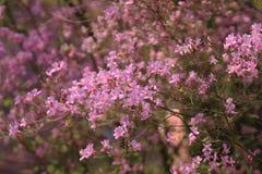 Różowy czereśniowych okwitnięć kwiat Obrazy Stock