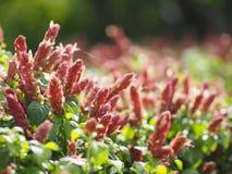 Różowy czerwony kwiatu imienia Justicia Brandegeana Pojedynczy liść, opposite, zmiennik, pion, lancetowaty, liść, końcówka, ostrz fotografia royalty free