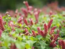 Różowy czerwony kwiatu imienia Justicia Brandegeana Pojedynczy liść, opposite, zmiennik, pion, lancetowaty, liść, końcówka, ostrz obrazy stock