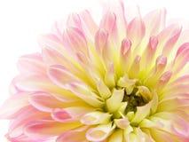 różowy dahlię Obrazy Stock