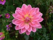 różowy dahlię obraz stock