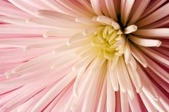 różowy dahlię Obraz Royalty Free