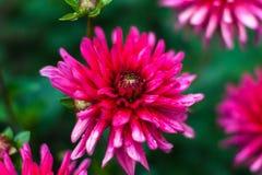 Różowy dalia kwiatu zbliżenie z waterdrops Zdjęcia Royalty Free