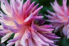 Różowy dalia kwiatu zbliżenie z waterdrops Fotografia Stock