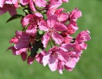 Różowy dereń kwitnie przeciw zielonemu tłu zdjęcie stock