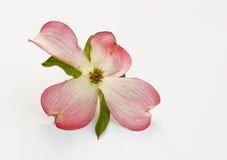 Różowy Dereniowy okwitnięcie Zdjęcie Royalty Free