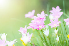 Różowy deszczu lilly okwitnięcia kwiat z sunflare Fotografia Stock