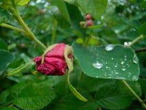 Różowy dogrose pączek Zdjęcia Royalty Free