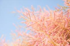 Różowy drzewny okwitnięcie na niebieskiego nieba tle, Fotografia Royalty Free