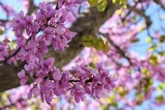 Różowy drzewo kwitnie w pogodnym wiosna dniu obrazy stock