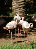 Różowy duży ptasi Wielki flaming, Phoenicopterus ruber Obrazy Royalty Free