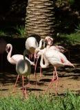 Różowy duży ptasi Wielki flaming, Phoenicopterus ruber Obrazy Stock