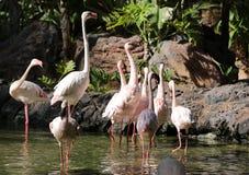 Różowy duży ptasi Wielki flaming, Phoenicopterus ruber Zdjęcia Royalty Free