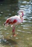 Różowy duży ptasi Wielki flaming, Phoenicopterus ruber Obraz Stock
