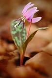 Różowy dziki kwiat, psa ząb fiołek, lub Dogtooth fiołek, Erythronium canis, menchia kwiat w jesień pomarańczowych liściach, Ger obraz stock