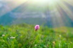 Różowy dziki kwiat w słońcu promienieje, minimalizm Zdjęcie Stock